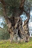 Centuries old  olives Royalty Free Stock Image