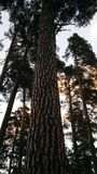 Centuries-old pines against the sky stock photo