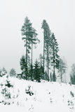 Centuries-old spruce. Winter forest green travel trees herringbone family in the woods clouds centuries-old spruce Royalty Free Stock Photography