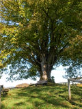 Centuries-old tree Stock Images
