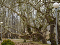 Centuries old trees Royalty Free Stock Photography