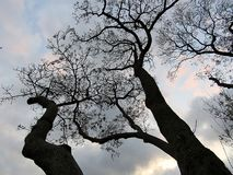 Centuries-old trees. They are looking at the sky Stock Image