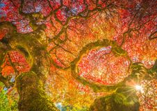 Century Japanese Maple in autumn colors royalty free stock image