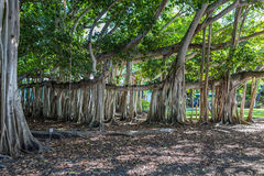 Century old Banyan Tree Royalty Free Stock Image