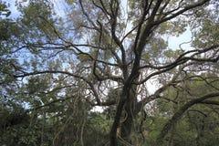 Century-old camphor tree Stock Photo