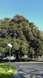 Century old Moreton Bay Fig Tree, Camarillo, CA Stock Photos