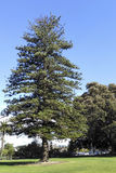 Century old Norfolk Island Pine, Camarillo, CA Stock Photo