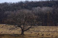 Century old oak tree. During the winter Stock Photography