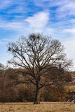 Century old oak tree. During the winter Royalty Free Stock Image