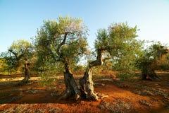 Century olives at sunset Stock Image