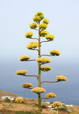 Century Plant. Agave americana, commonly known as the Century Plant. La Palma, Canary islands, Spain Stock Photo