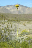 Century Plant with yellow flower towering over 8 feet high in Coyote Canyon, Anza-Borrego Desert State Park, near Anza Borrego Spr Royalty Free Stock Photography