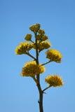 Century plants bloom in desert Stock Photography