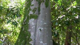 Century tree stock video footage
