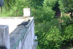 Crow stock image