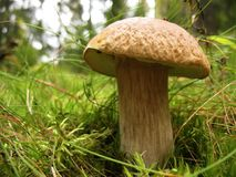 Cep, подосиновик edulis, в пуще Стоковое фото RF