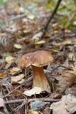 CEP растя в лесе Стоковые Изображения RF