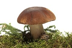 Cep. Boletus mushroom and green moss isolated on a white background. fungus. Royalty Free Stock Photos