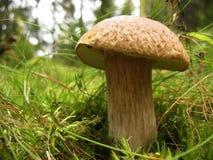 Cep Boletus som är edulis, i en skog Royaltyfri Foto