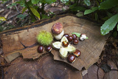 Cep and chestnuts on fresh stump Royalty Free Stock Photo