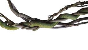 Cep de vignes sauvage tordu de jungle de liane d'isolement sur le backgrou blanc photographie stock libre de droits