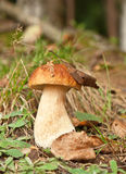 Cep in forest Royalty Free Stock Photography