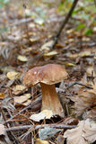 Cep growing in the forest Royalty Free Stock Images