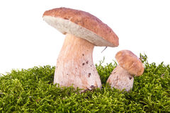 Cep on a hummock Stock Photos