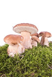 Cep on a hummock Stock Photography