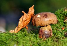 Cep in moss Stock Photos