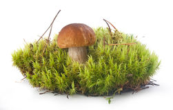 Cep in the moss Stock Images