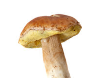 Cep mushroom Stock Images