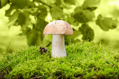 Cep mushroom Royalty Free Stock Photos
