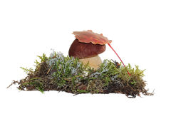 A cep mushroom and a aspen leaf on the top of it, grown into the moss. Stock Images