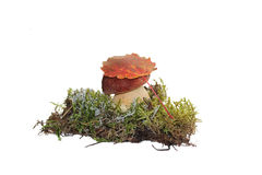 A cep mushroom and a aspen leaf on the top of it, grown into the moss Royalty Free Stock Images