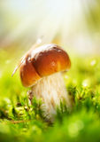 Cep Mushroom. Boletus. Cep Mushroom Growing in Autumn Forest. Boletus Royalty Free Stock Image