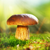 Cep Mushroom. Boletus Stock Image