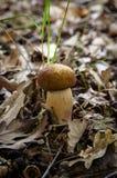 Cep mushroom Stock Image