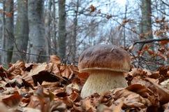 Cep mushroom close up Royalty Free Stock Image