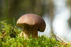 Cep mushroom  in a forest scene Stock Photos