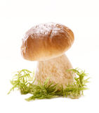 Cep mushroom  in a forest scene and white backdrop Stock Photography