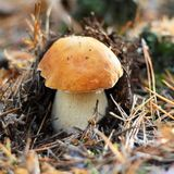 Cep mushroom in the forest Royalty Free Stock Photography