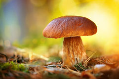 Cep mushroom growing in autumn forest Stock Images