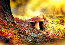 Cep mushroom growing in autumn forest. Boletus Royalty Free Stock Photos