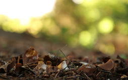 Cep mushroom growing in autumn forest. Stock Image