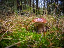 Cep mushroom growing in autumn forest Royalty Free Stock Photography