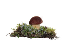 A cep mushroom grown into the moss Royalty Free Stock Photos