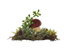 A cep mushroom and twig cranberries grown into the moss Stock Photos