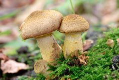 Cep mushrooms Stock Photos