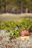 Cep in nature Royalty Free Stock Photography